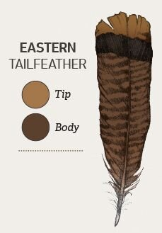 Easterns exhibit chocolate-brown tailfeather tips with chestnut brown tips on their covert feathers.