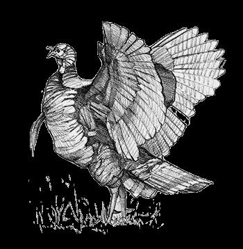 Rio-Grande-Wild-Turkey-Wing-Flap-Sketch-Copyright-Ryan-Kirby-Art-Grand-Slam-Subspecies.png