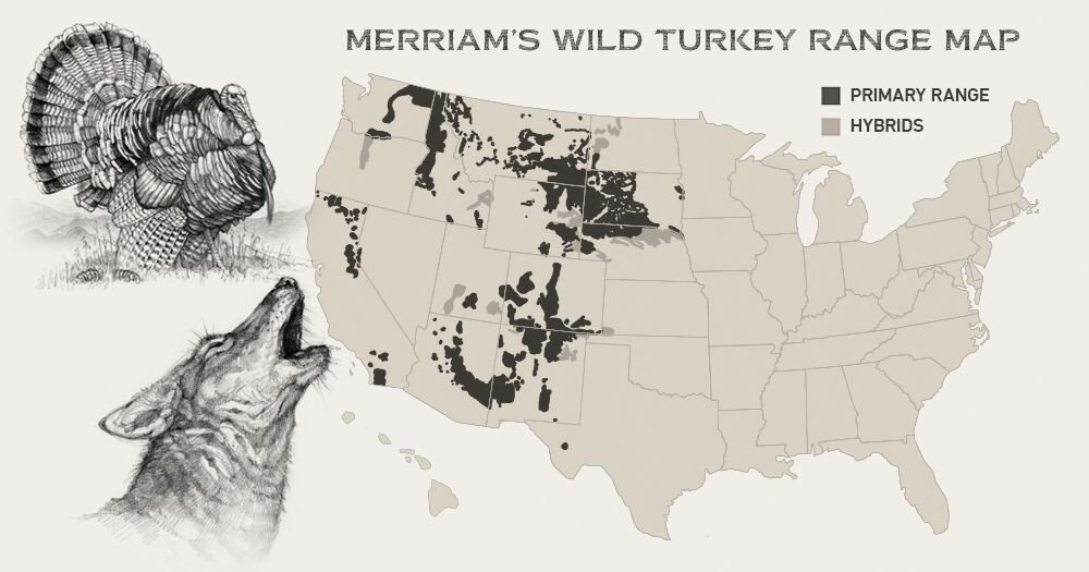 Merriam's only reside in the American West, dominating the untamed terrain of the Rocky Mountains