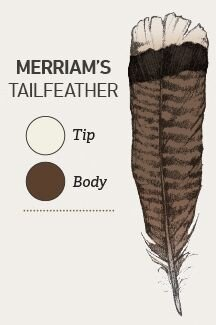Merriam's exhibit bright, snow-white tips on their tailfeathers and buff white covert feathers