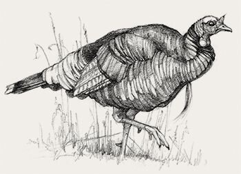 {Size: 18-24 lbs.}  Merriam's are the second largest of all four major wild turkey subspecies.