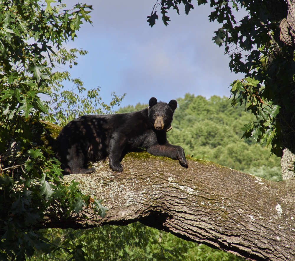 "The neighborhood visitor known as ""Bruno"" shot with Olympus. It's a  bit too ""sharp"" - that's one of the differences - that it's not as natural as the Nikon. However, it was easy to grab and go to catch this bear before he climbed back down."