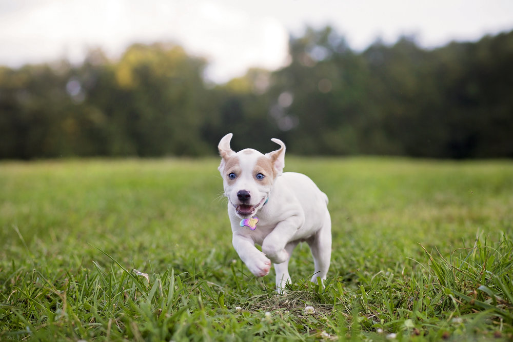 dog photographer pickens sc cute puppy photo