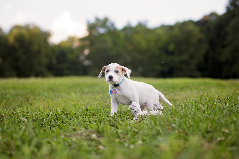 adorable puppy photography pickens sc