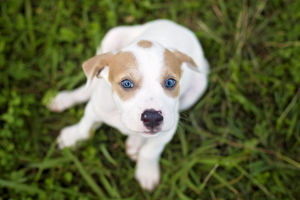 blue eyed puppy adorable cute pickens photographer