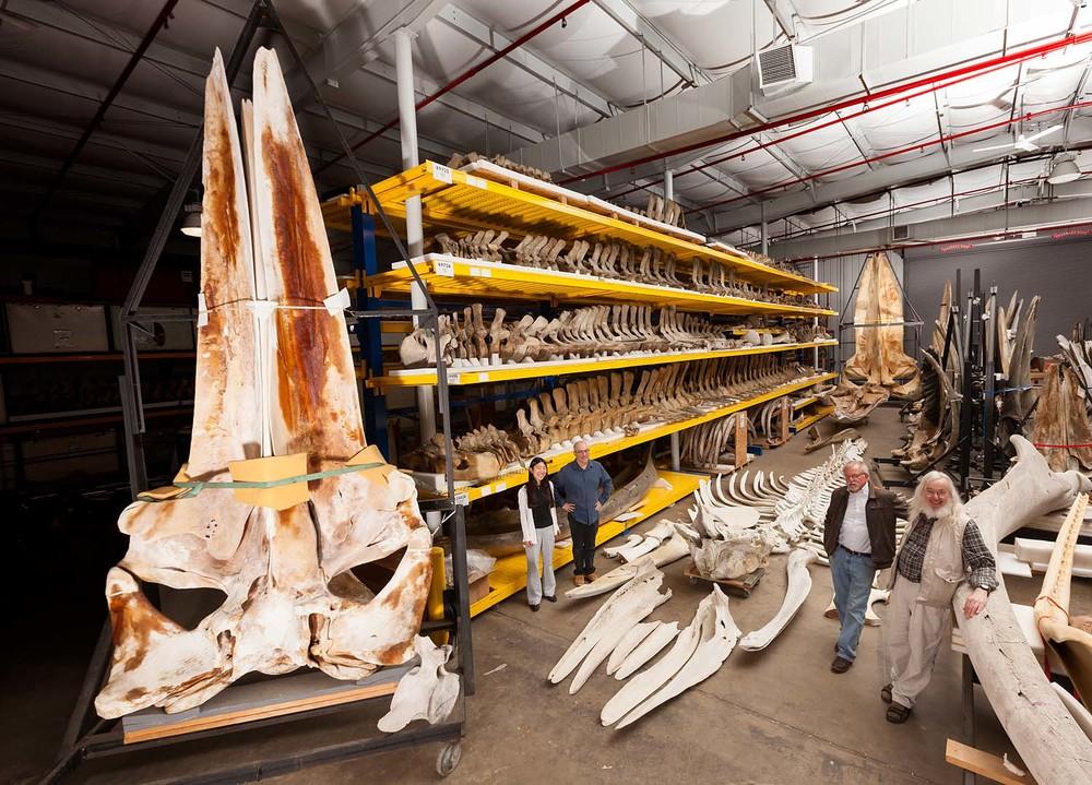 Whale | Smithsonian | Washington D.C.