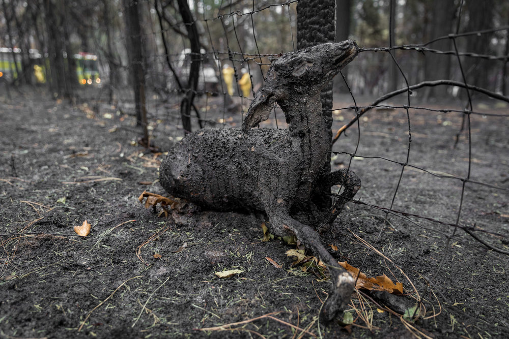 An animal stuck in the barbed wire burned after being unable to escape the Camp Fire — Concow, CA — November 21st, 2018