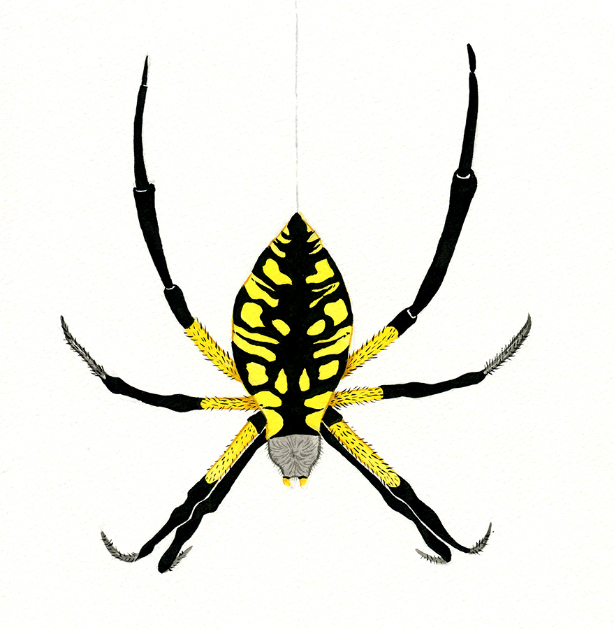 Study of a yellow garden spider.