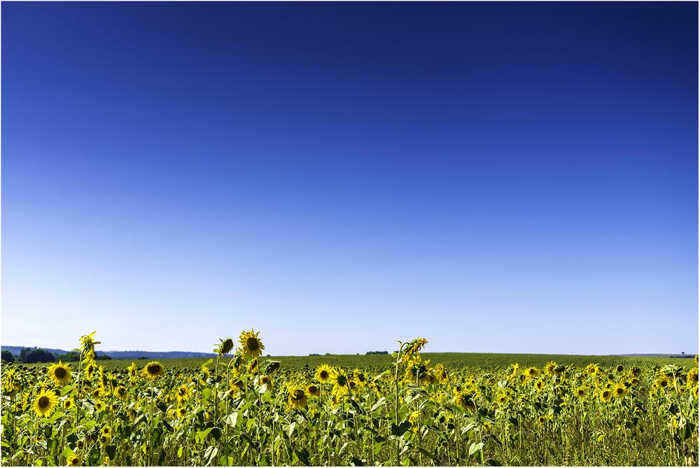 Все же смог найти поле с подсолнухами, которые имели товарный вид в августе