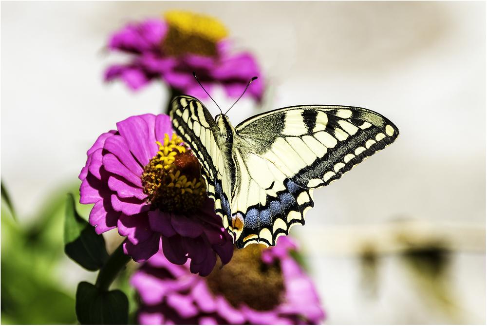 Вот такая красавица прилетела на сладкий цветочек