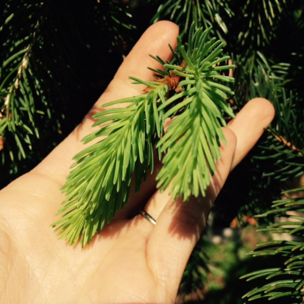 delicious tips of spruce ( Picea )