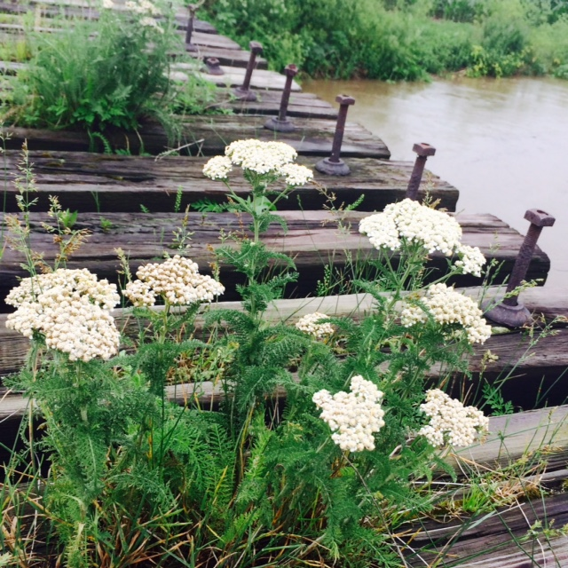 we found yarrow making a place for itself on a foot bridge