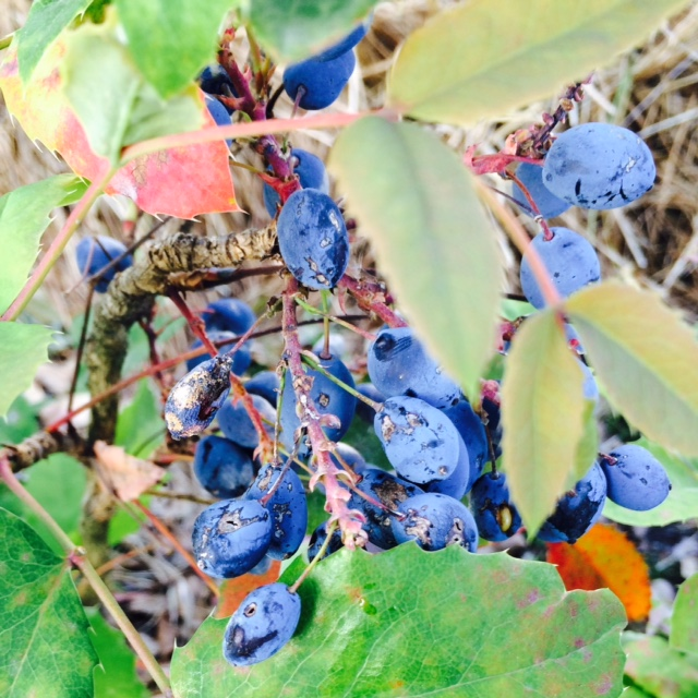I love oregon grape's colors!