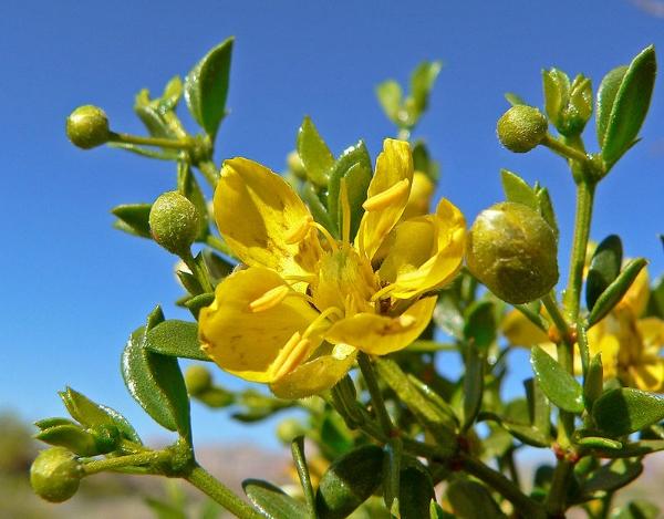 chaparral-larrea-tridentata-my-wild-origins