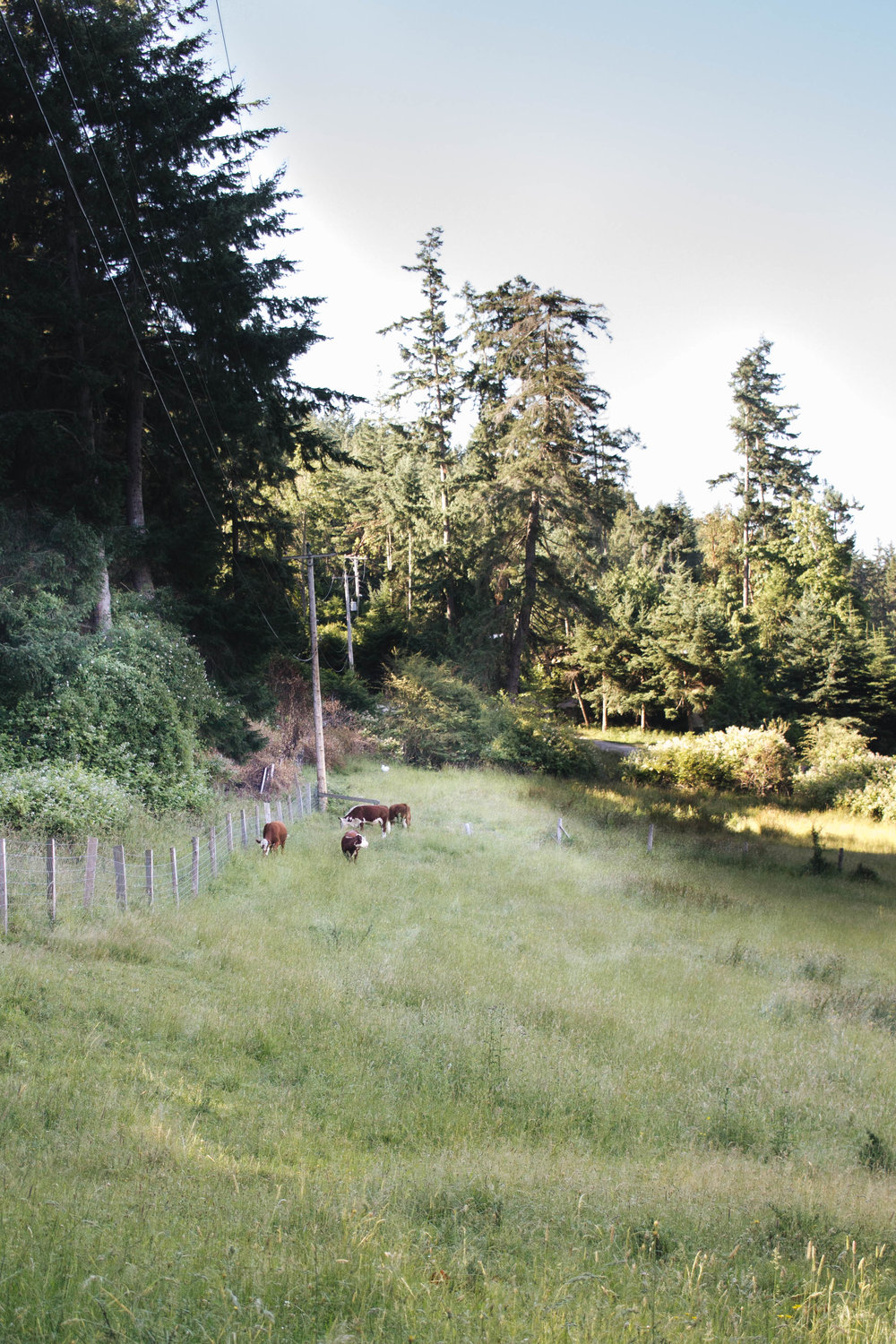 cows on Saturna island
