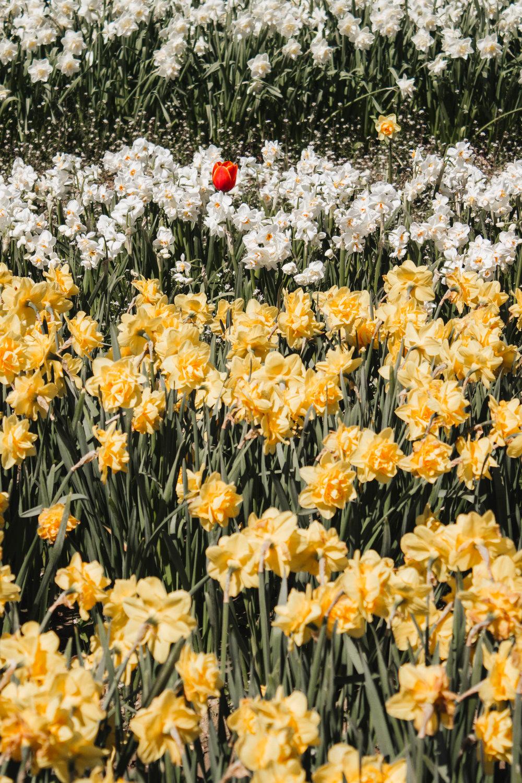 abbotsford-tulip-festival_02