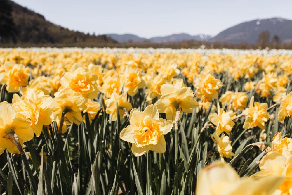 abbotsford-tulip-festival_03
