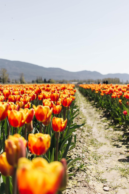 abbotsford-tulip-festival_05