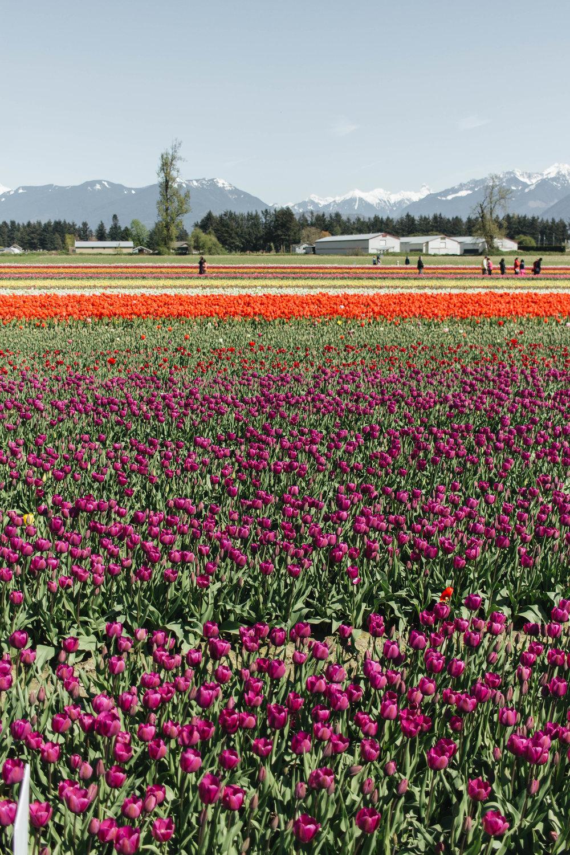 abbotsford-tulip-festival_08