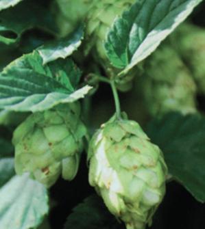 saaz hops -CELIAORGANIC uses the worlds finest hops