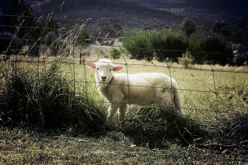lamb-451982_960_720-min.jpg
