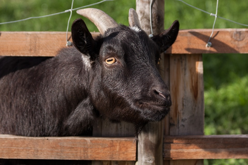 domestic-goat-207309_960_720-min.jpg