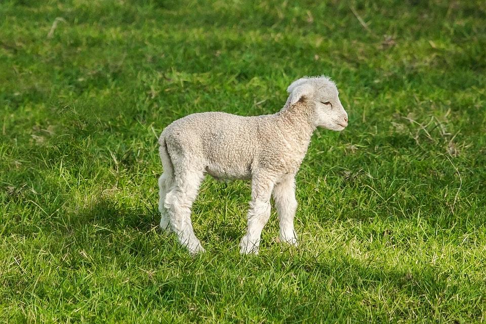 sheep-1398199_960_720-min.jpg