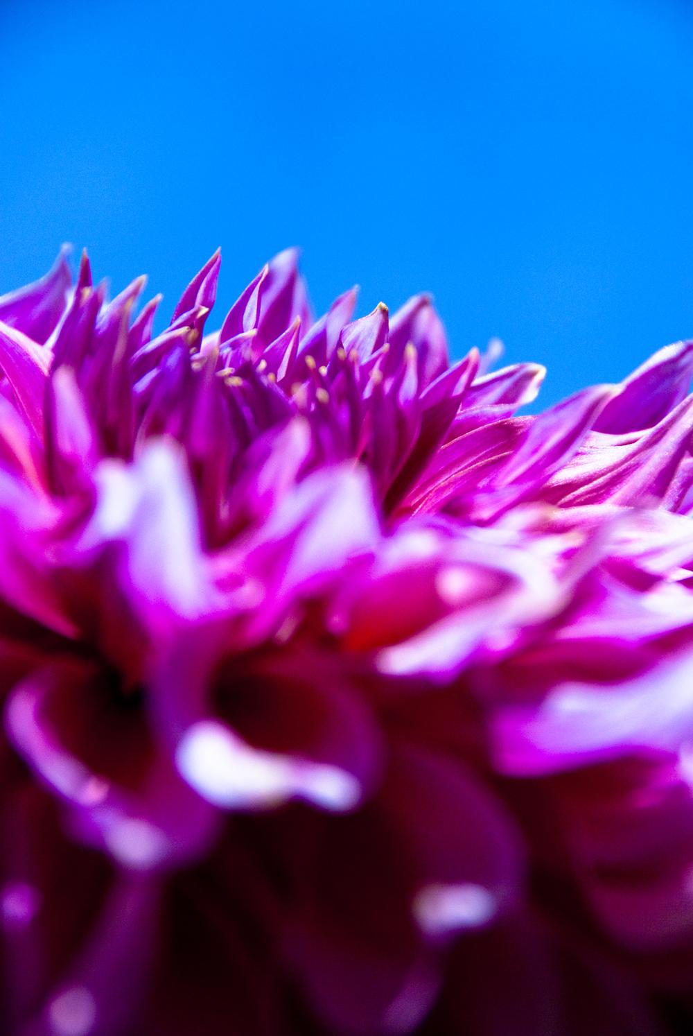 purple dahlia.jpg