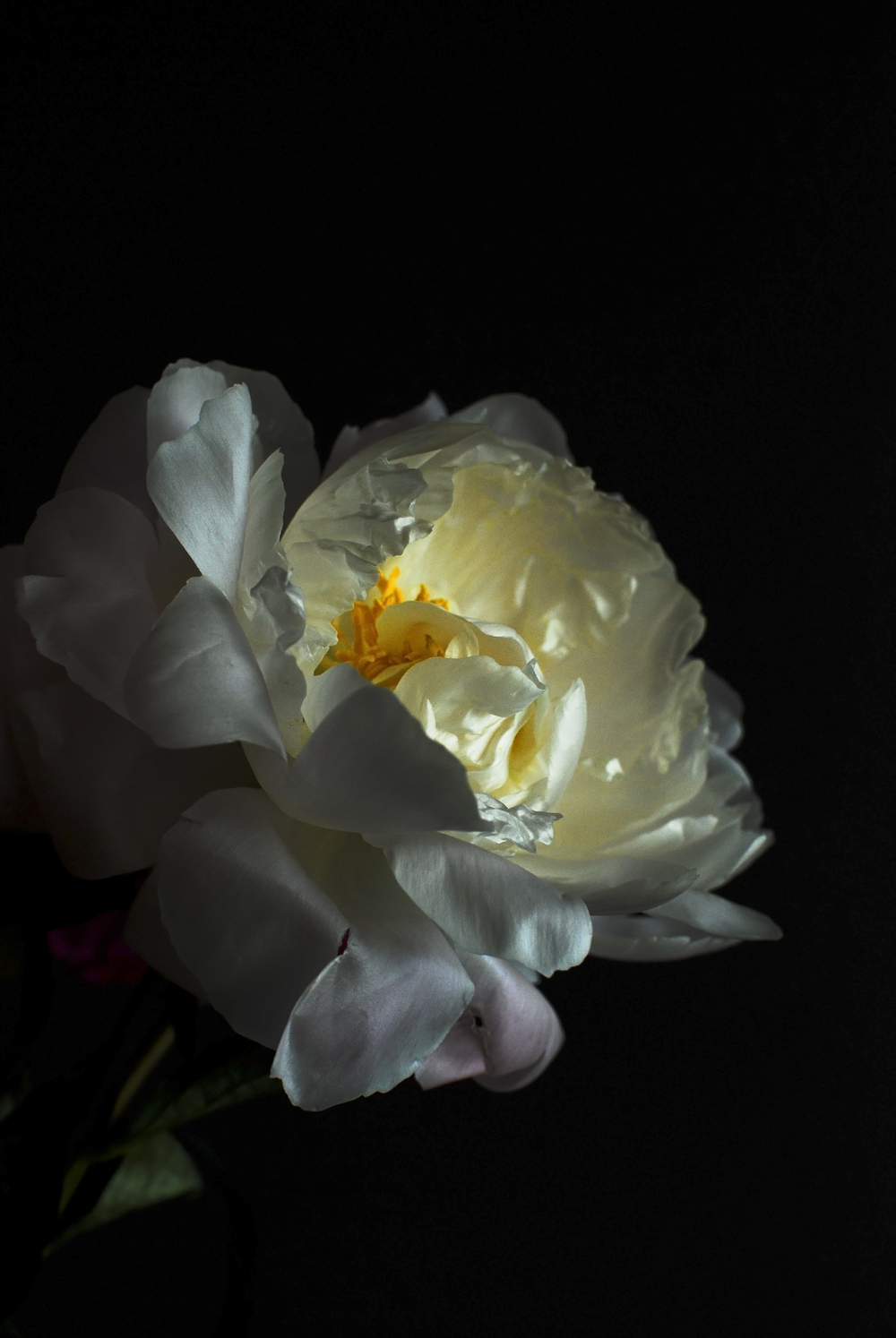 pale peony on black.jpg