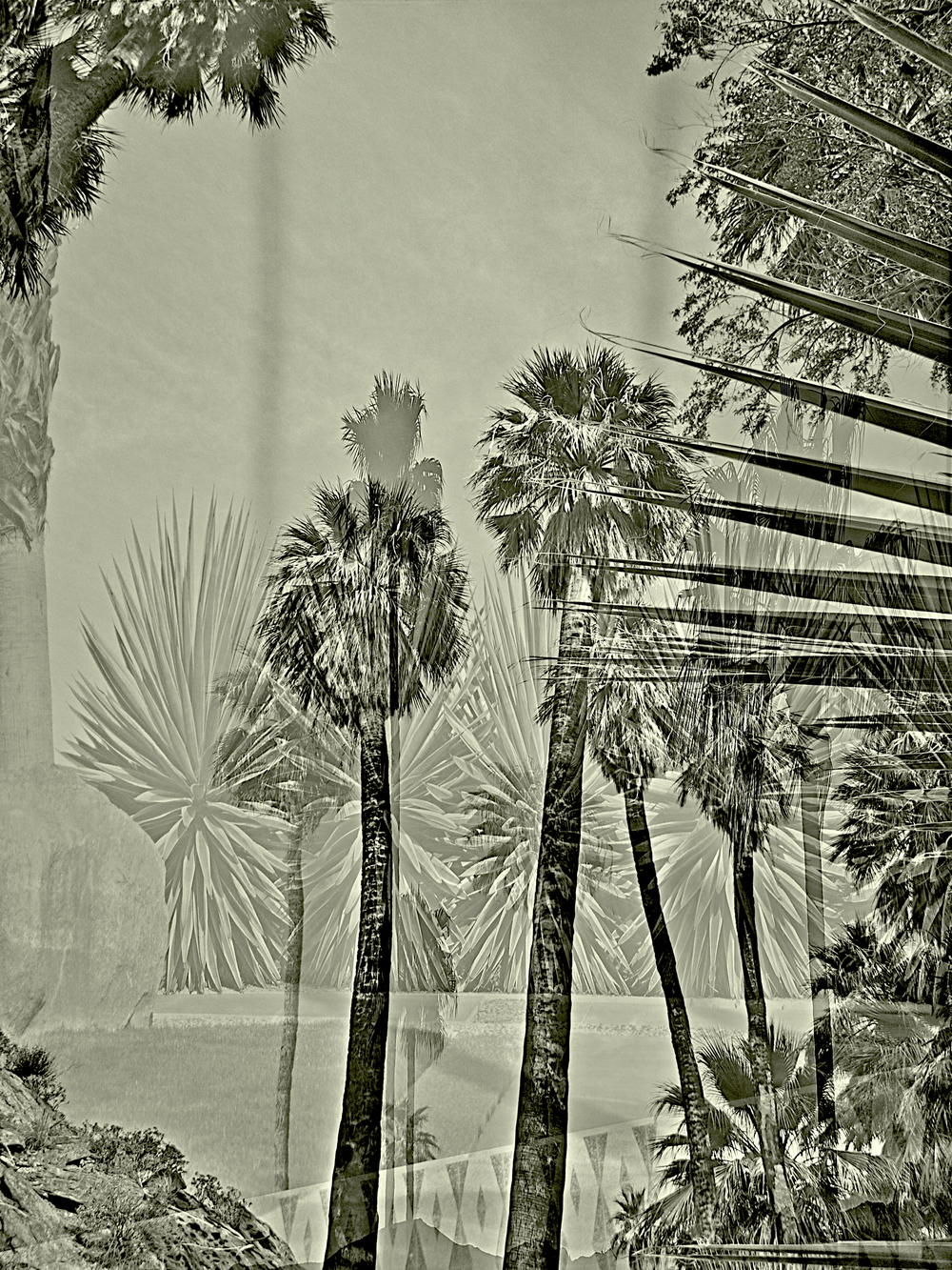 palm springs sepia palms.jpg