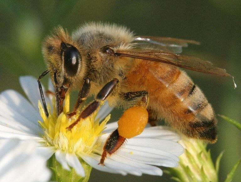 Honeybee_DavidCappaert_MichStateUniv_Bugwood.org_.jpg