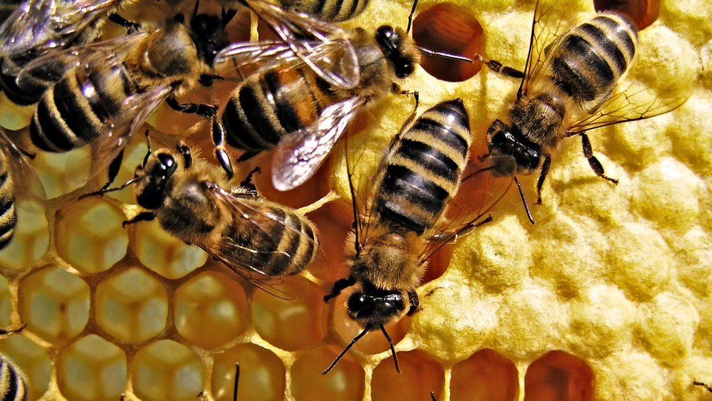 honey-bees-background-image-new-hd-wallpaper-free.jpg