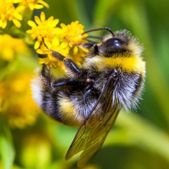 bumble-bee.jpg