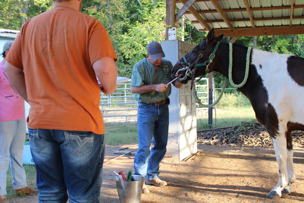 An equine dentist shows the procedure of rasping, also known as floating.