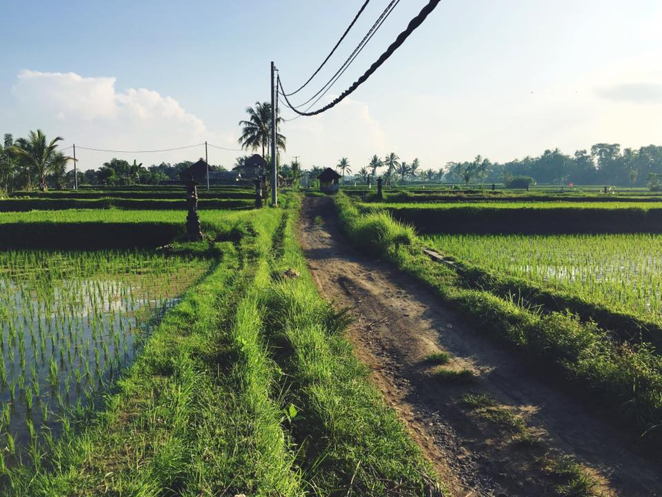 Rice Fields in Ubud, Bali