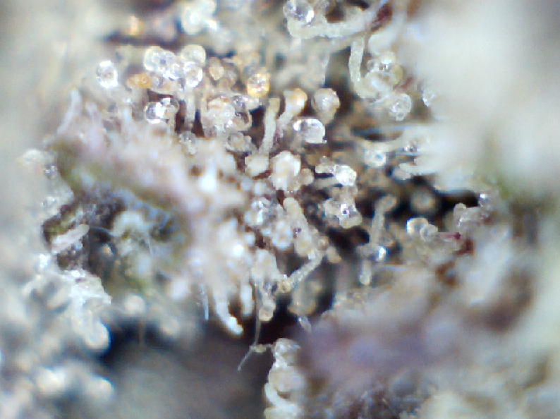 Girl Scout Cookies Trichomes