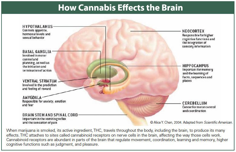 Cannabis in the Brain