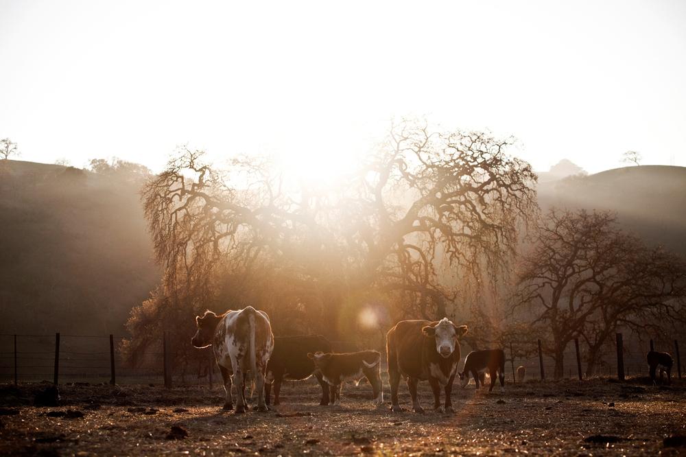 Cow.BRANDING_10.jpg