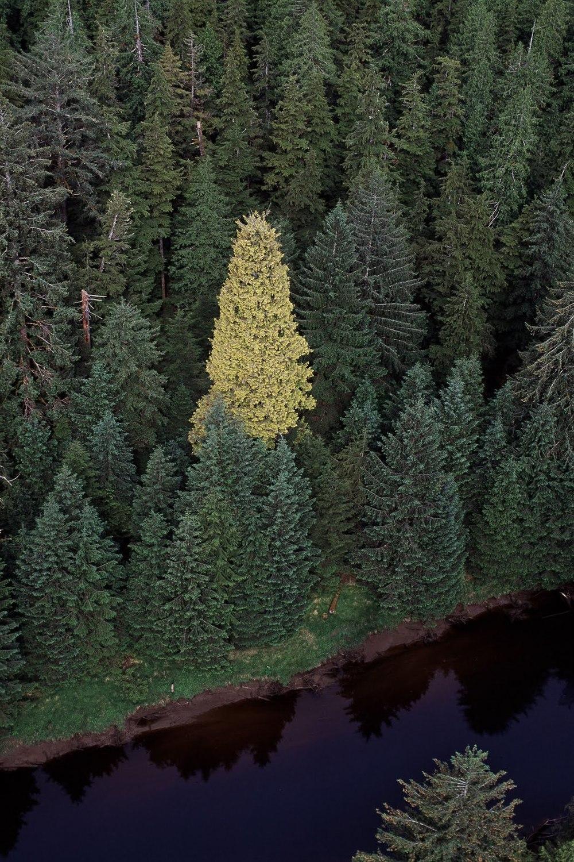 golden-spruce.jpg