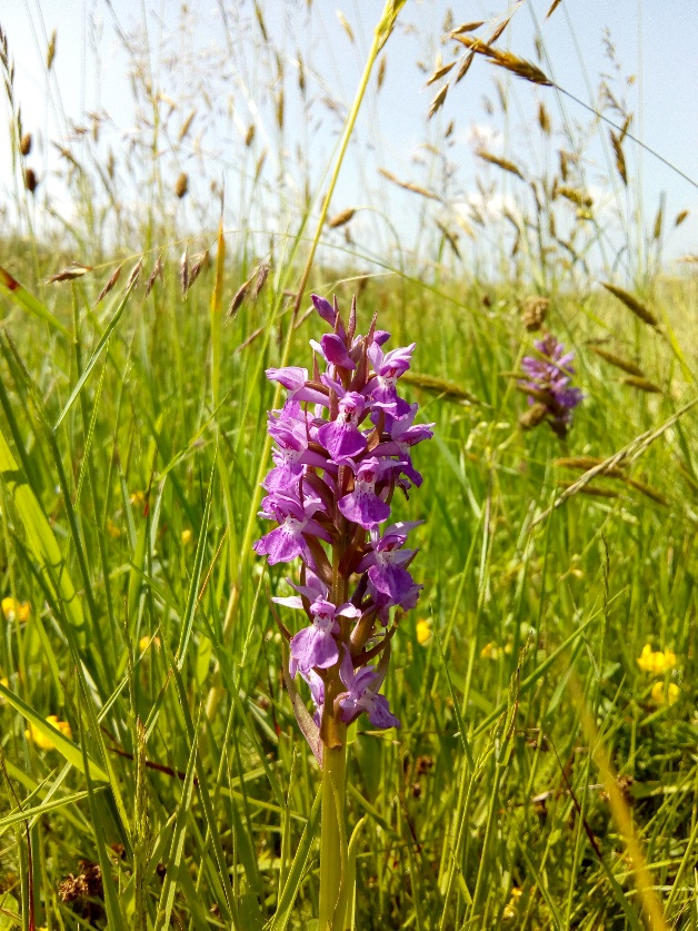 Southern marsh orchids ( Dactylorhiza praetermissa ) in a road verge near Hayle.