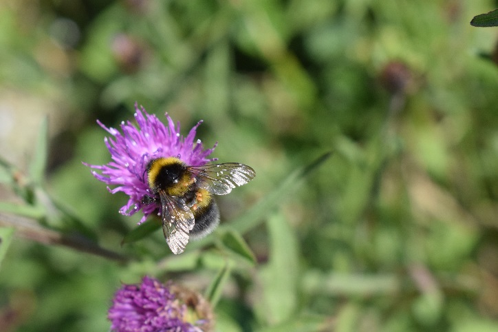 A garden bumblebee ( Bombus hortorum ) feeding on common knapweed ( Centaurea nigra ) in a road verge near Veryan on the Roseland Peninsula.