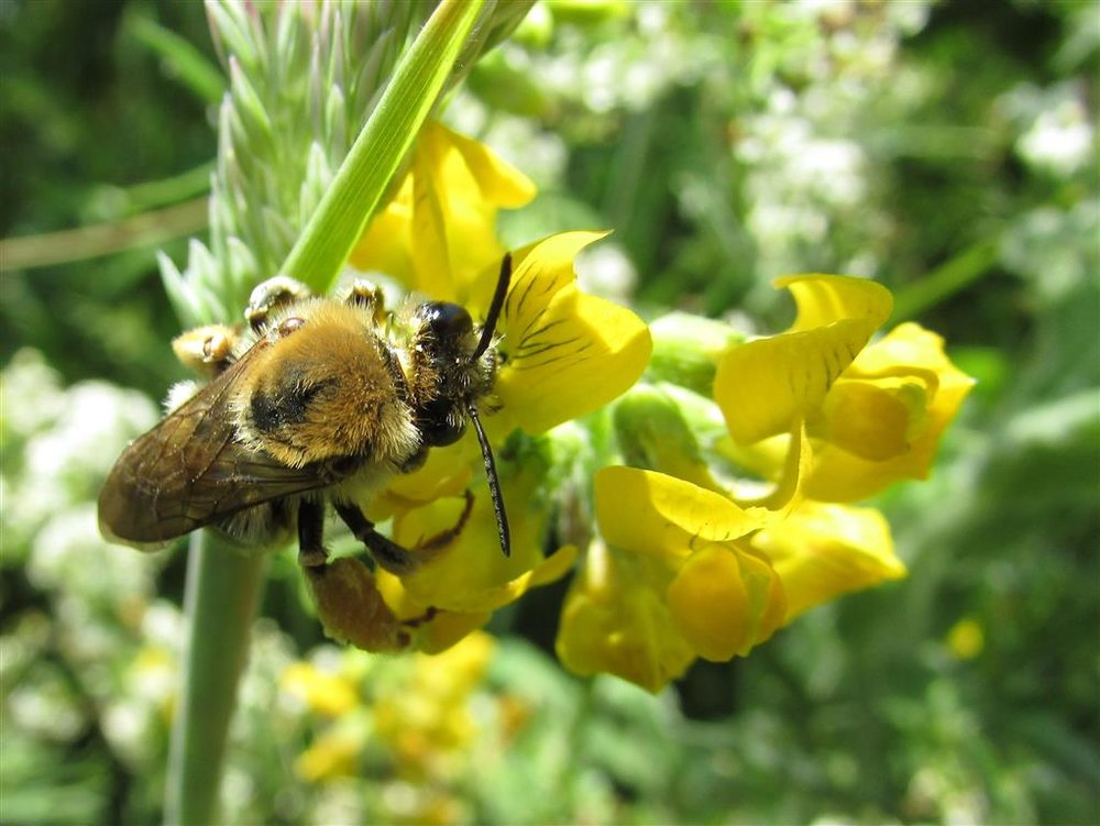 The Long Horned Mining Bee
