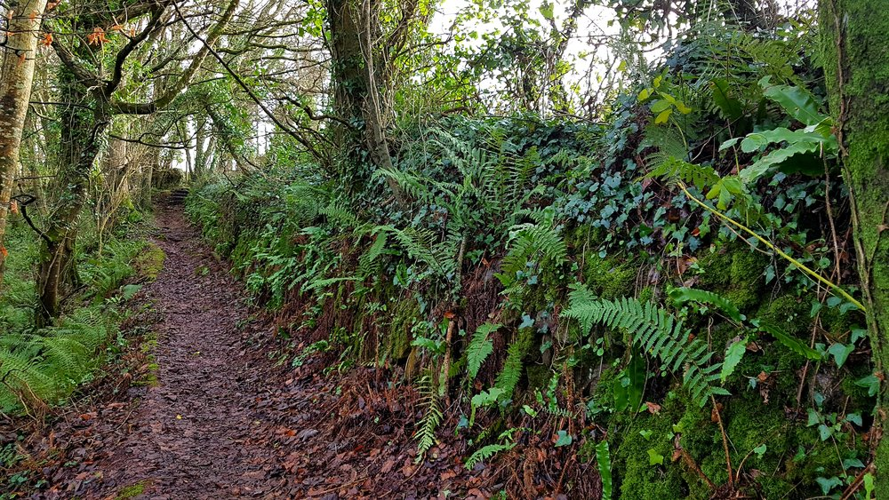 A section of hedge at Maker Woodlands in our Rame Head section