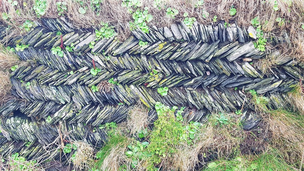A section of hedge in our Carnewas to Stepper Point section near Trethias Island