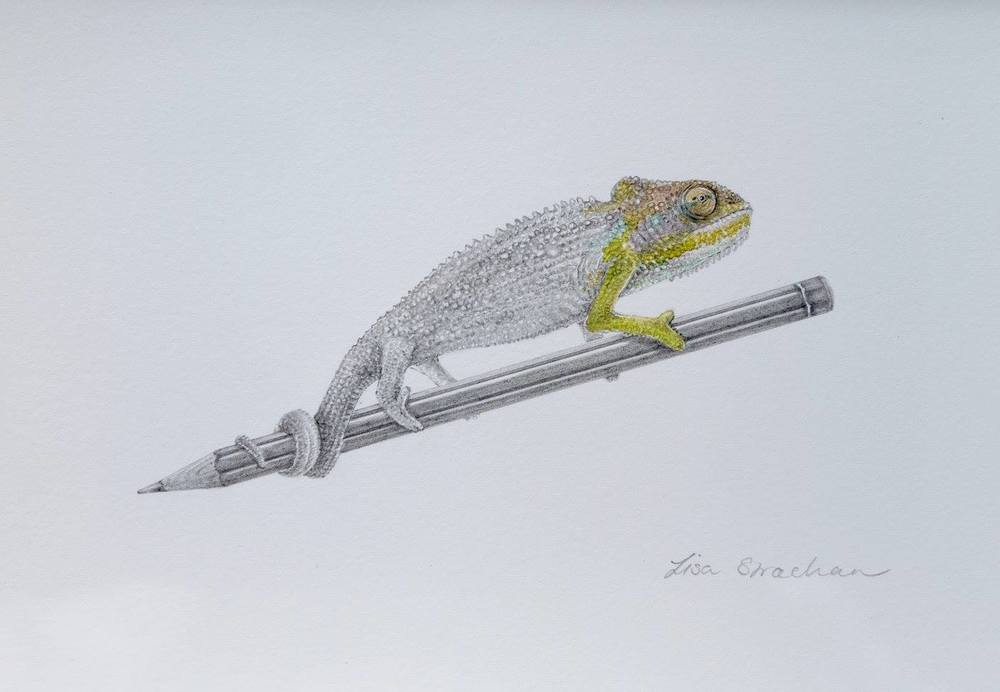 Lisa Strachan    Chameleon I    Pencil on Paper    20.5 x 14 cm   R 2 500