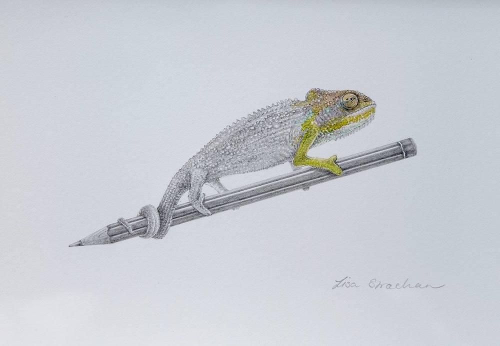 Lisa Strachan    Chameleon I    Pencil on Paper    20.5 x 14 cm   R 2 500