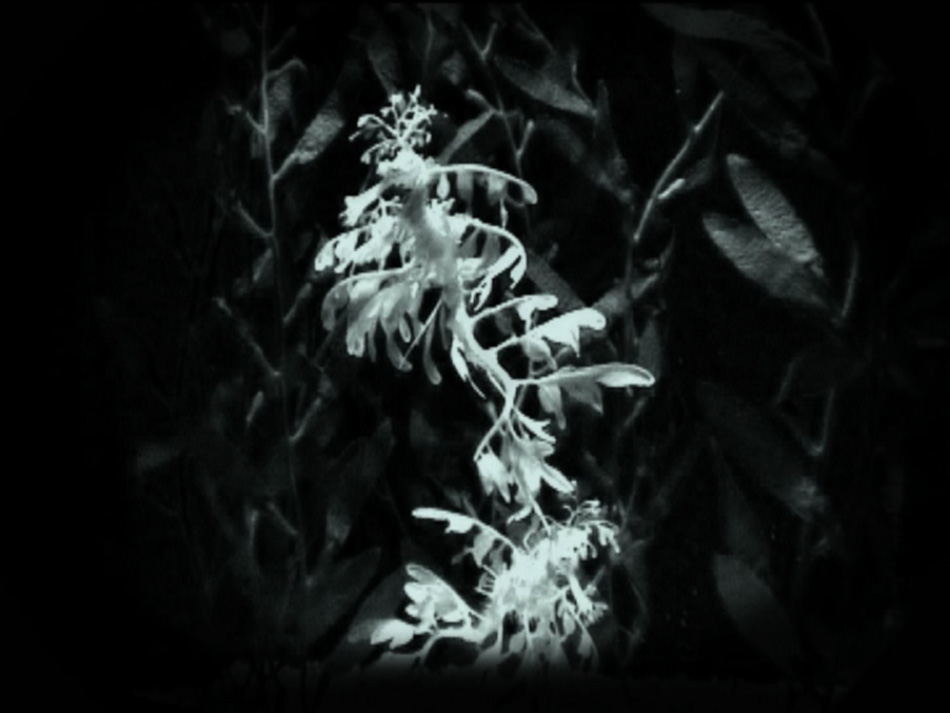 LSD-Leafy Sea Dragon, 2009, video loop 1.44min.jpg