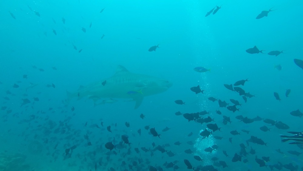 Tiger Shark Dive