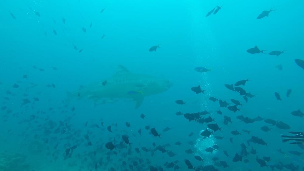 Tiger Shark Dive