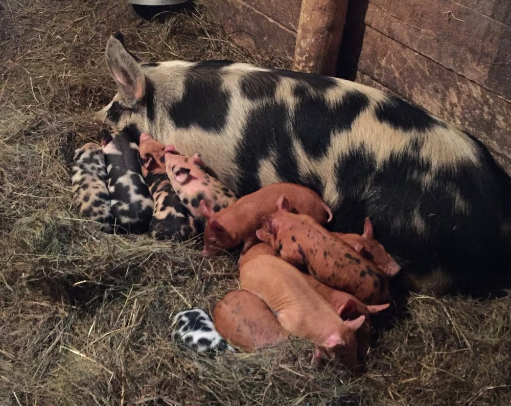 Two of these little piglets will be moving to South Pond later this spring!